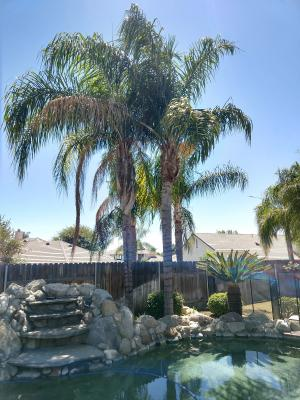 Trimmed four Queen Palm trees before and after
