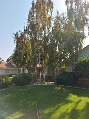 Before and after birch tree