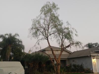 Pepper tree before and after.