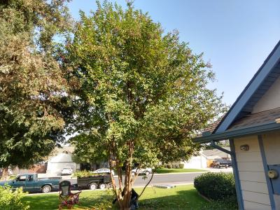 Crepe myrtle before and after.