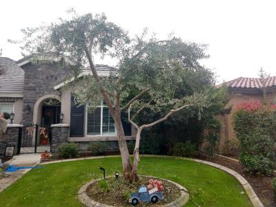 Olive and crepe myrtle tree trimed