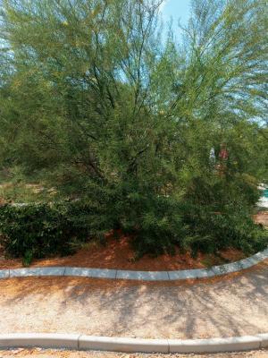 2 Palo Verde tree